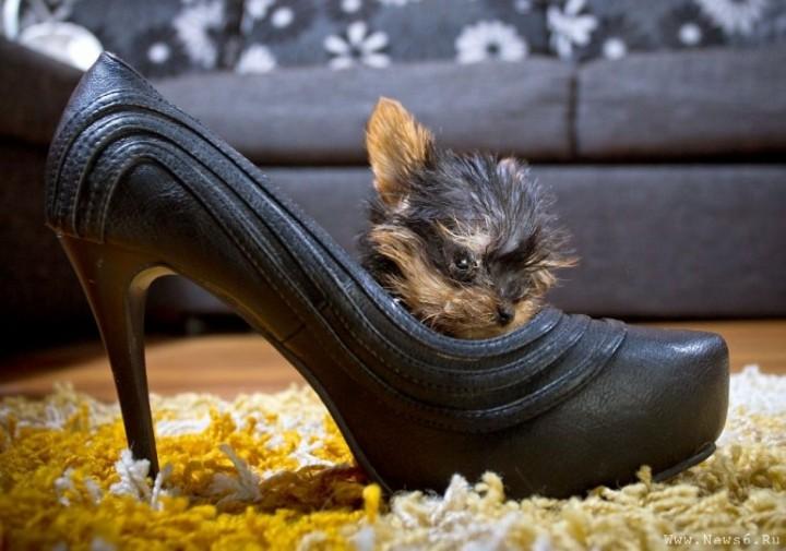 1Самая малюсенькая собачка в мире