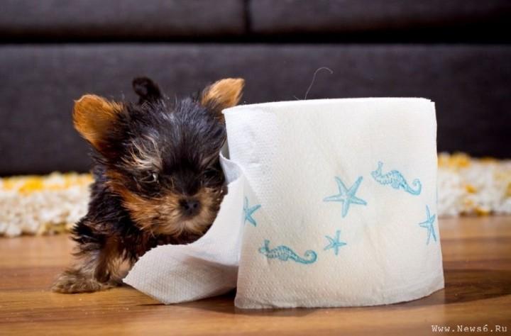3Самая малюсенькая собачка в мире